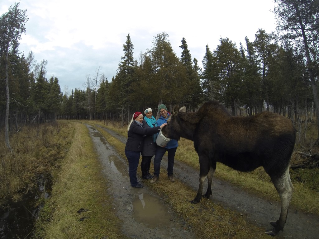 alpacas moose bears northeastern ontario