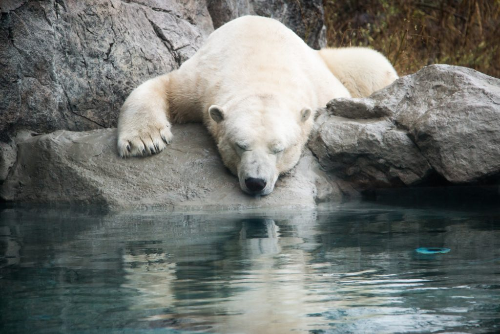 Meet the Bears: Visit the Cochrane Polar Bear Habitat ...